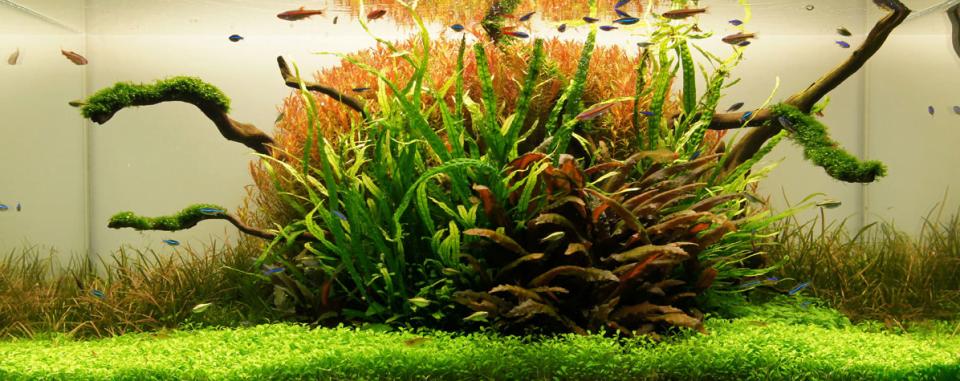 Bể thủy sinh cây đỏ