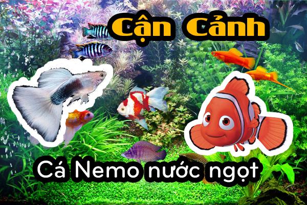 cá Nemo nước ngọt