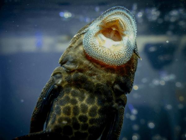 loài cá tỳ bà beo