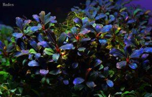 cây thủy sinh Bucep