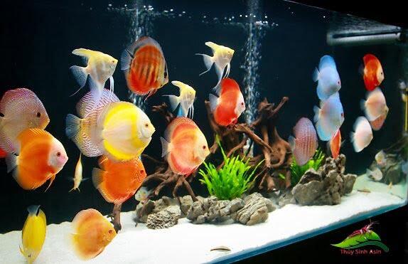 bể cá đĩa cực đẹp