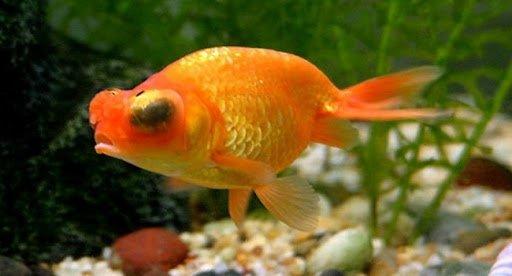 Bệnh lồi mắc cá vàng