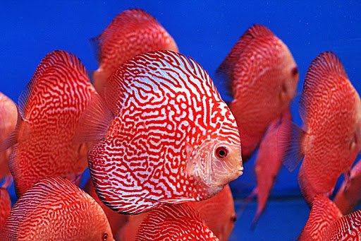 Cá dĩa bồ câu màu đỏ