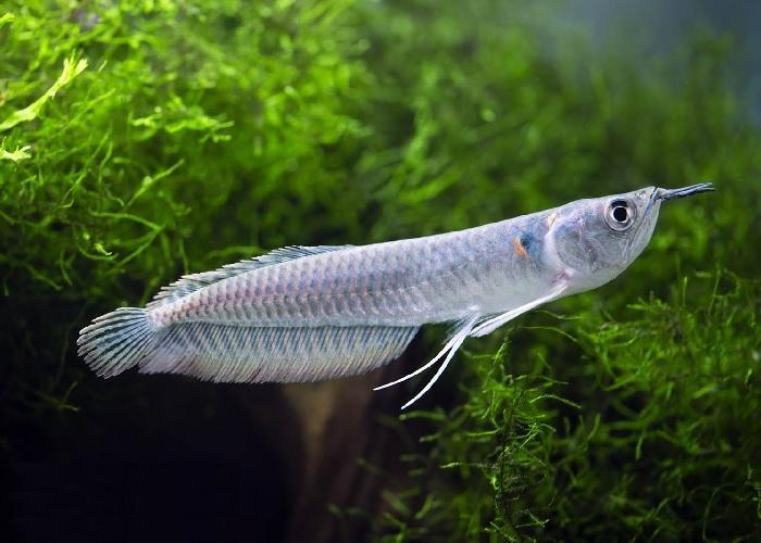 cá ngân long đẹp