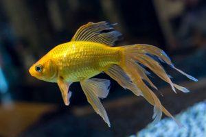 Cá vàng đuôi quạt