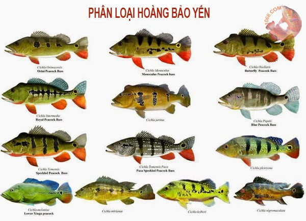 Bảng phân loại cá Hoàng Bảo Yến