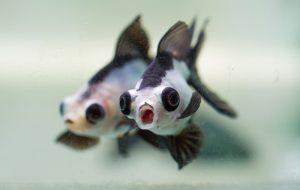 cá gấu trúc - cá vàng gấu trúc