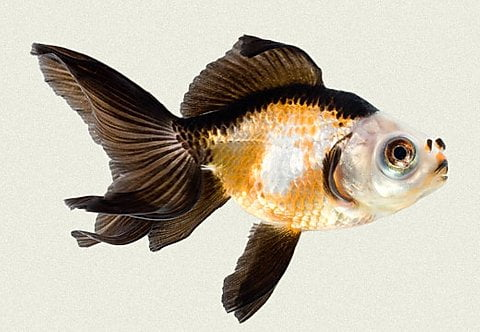 Cá vàng gấu trúc đẹp