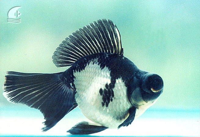 cá vàng gấu trúc