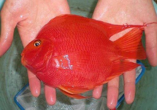 giá cá Hồng Két