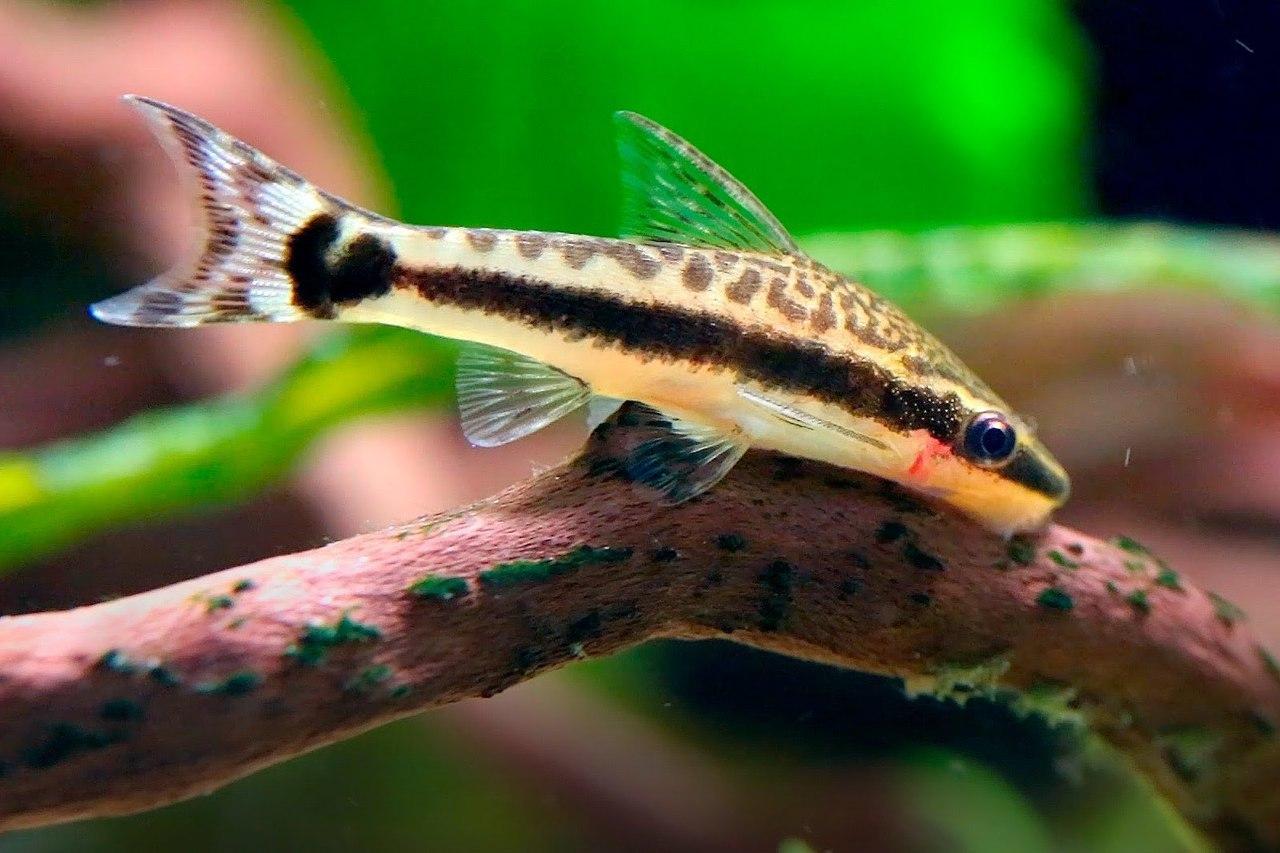 Cá otto ăn rêu hại
