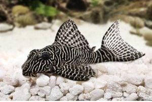 Cá cảnh Pleco