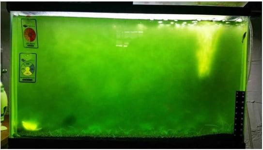 bể thủy sinh lên rêu xanh