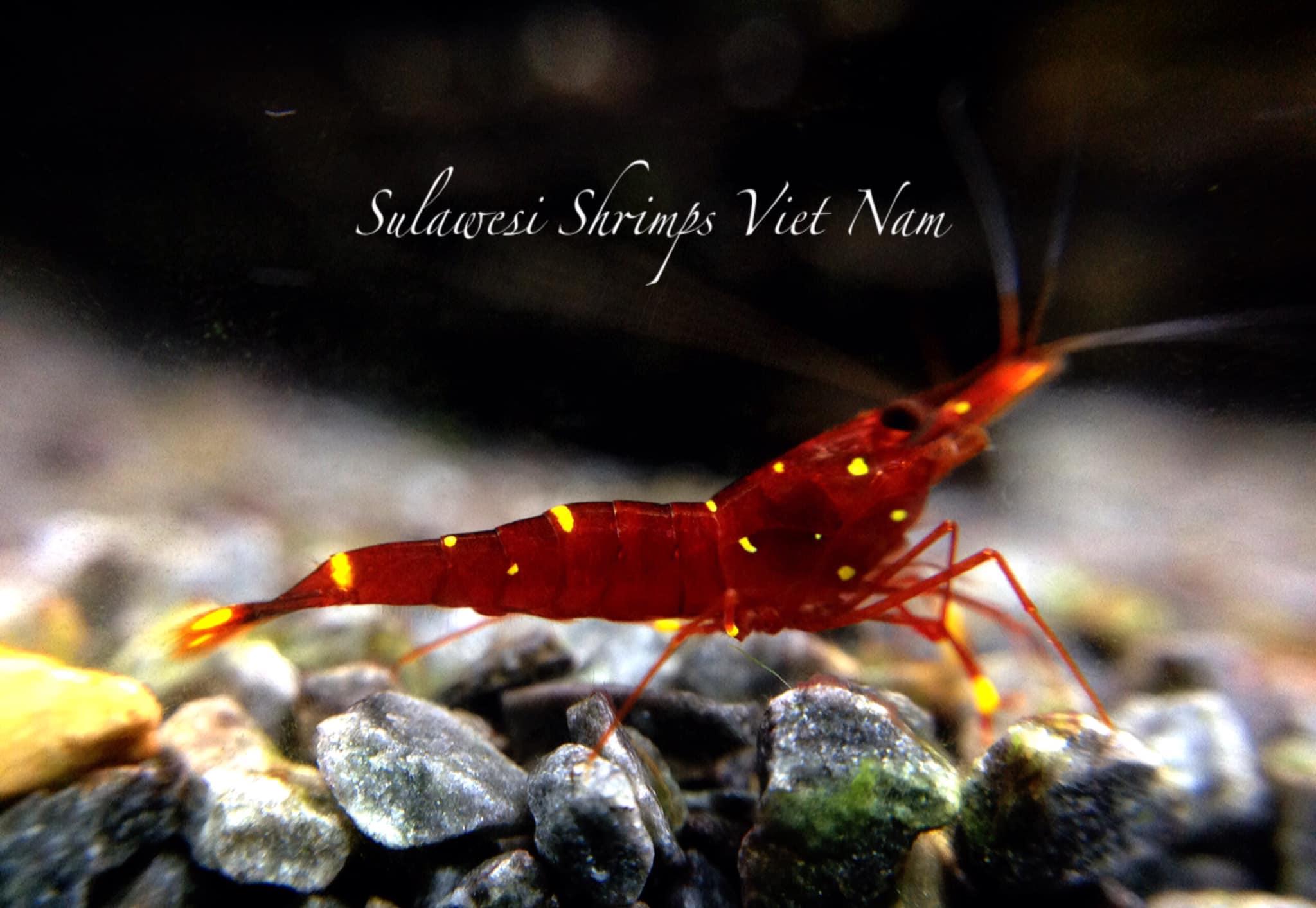 tép sulawesi màu đỏ đẹp