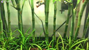 Bể thủy sinh cây phát tài