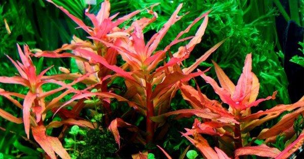Cây hồng liễu Ammannia-gracilis