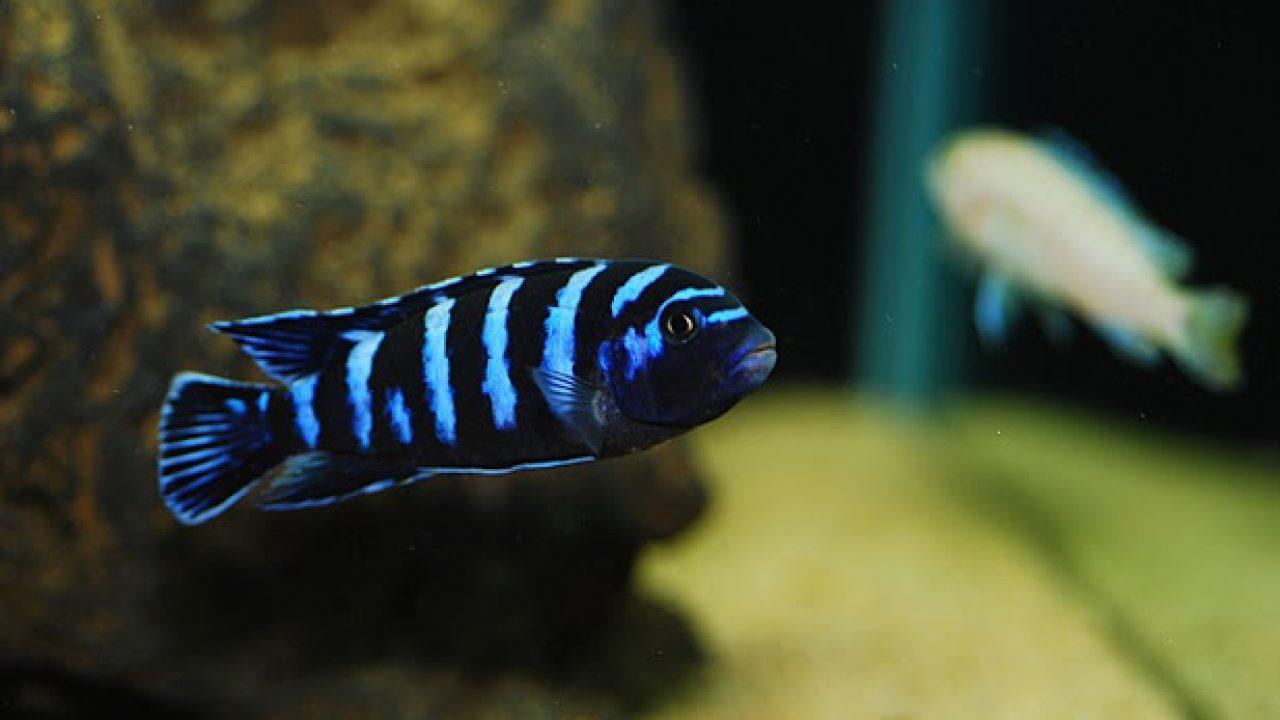 Cá Ali