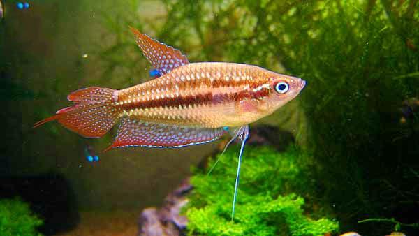 cá thanh ngọc