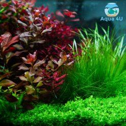 Màu sắc cây thủy sinh dùng đèn Vivid 2