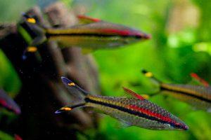Cá Tên Lửa - Cá Hồng Mi Ấn Độ