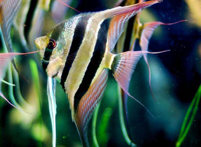 Cá Thần Tiên Ai Cập (Altum)