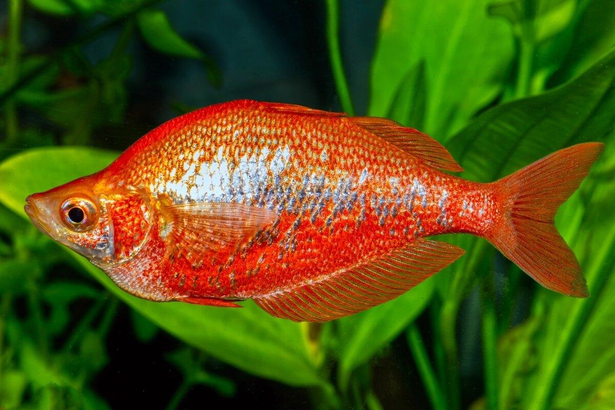 Cá Cầu Vồng Đỏ