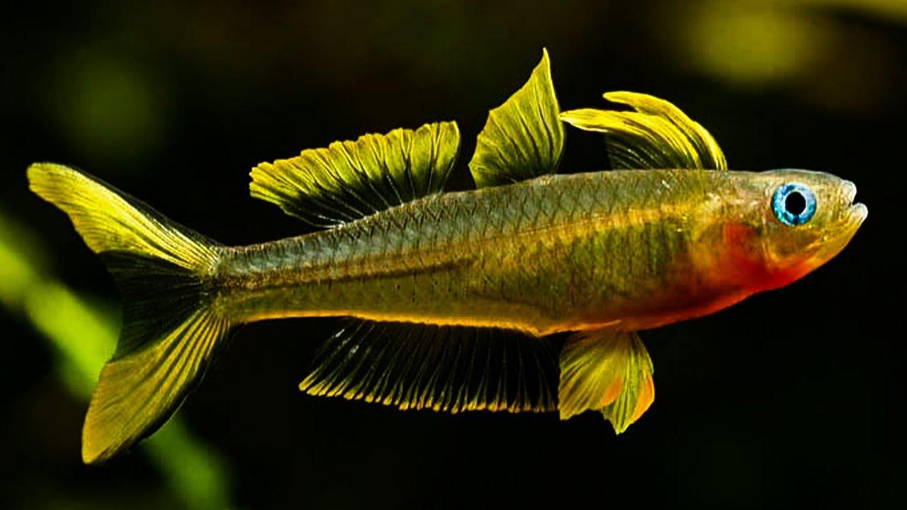 Cá Cầu Vồng Nắng Vàng