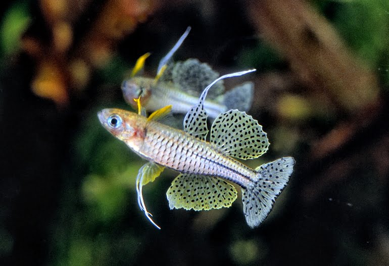 Cá Cầu Vồng Pseudomugil gertrudae