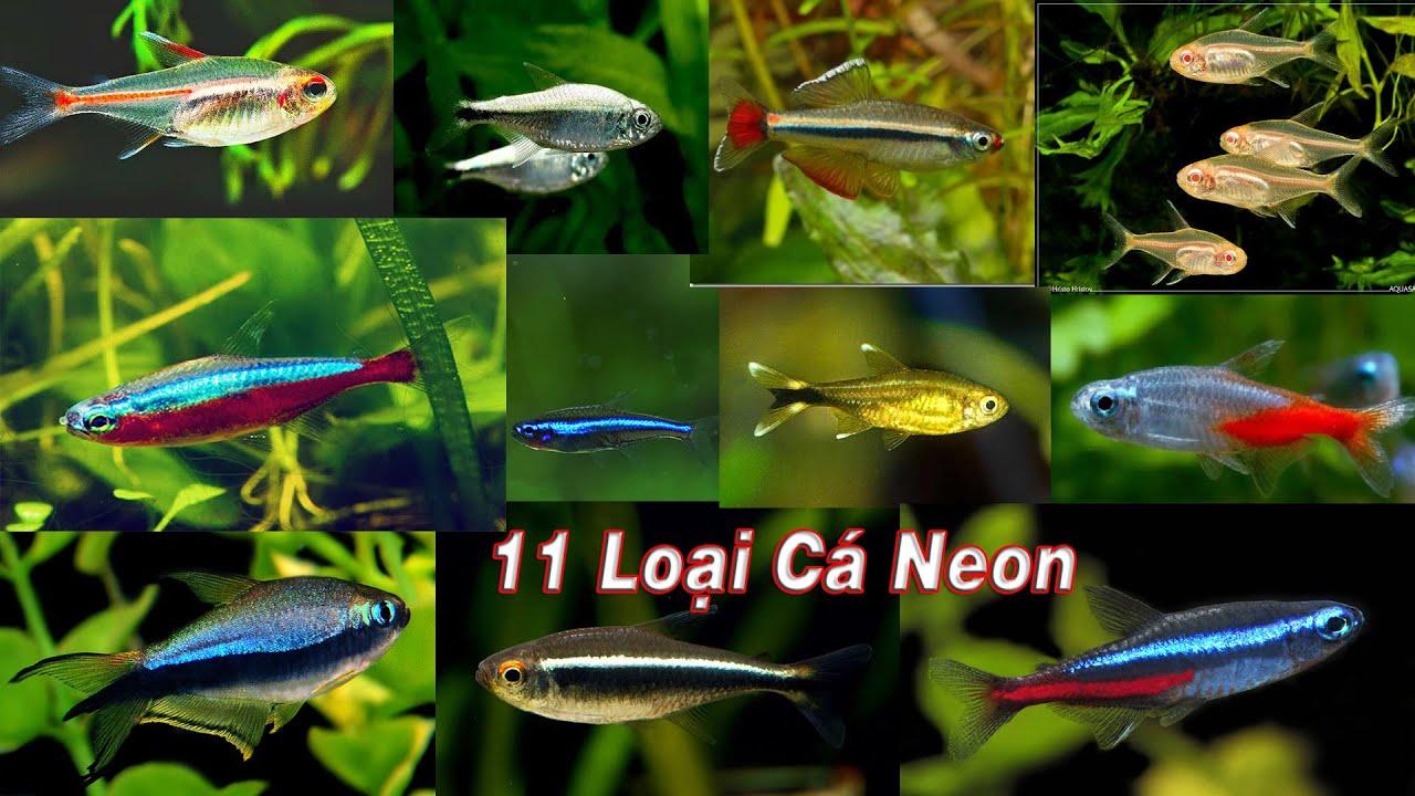 11 loài cá neon
