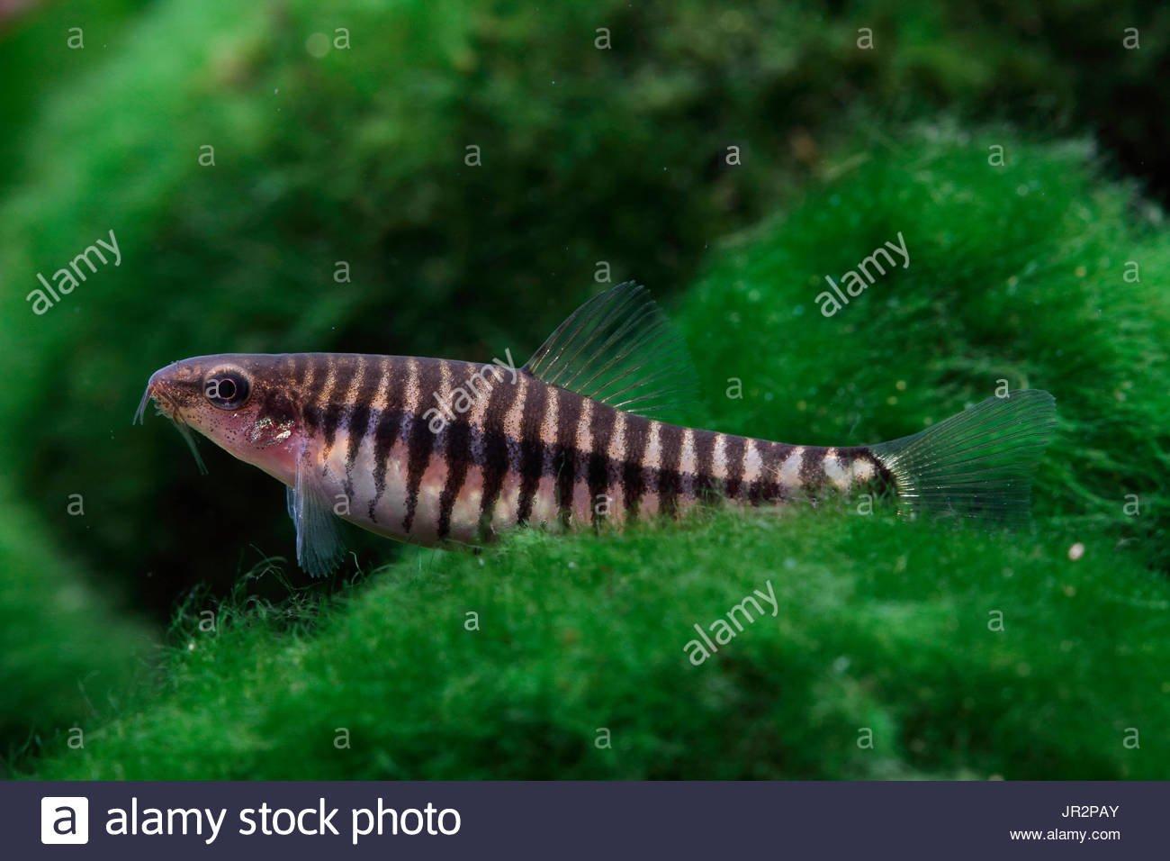 Cá Chạch Khoang Việt