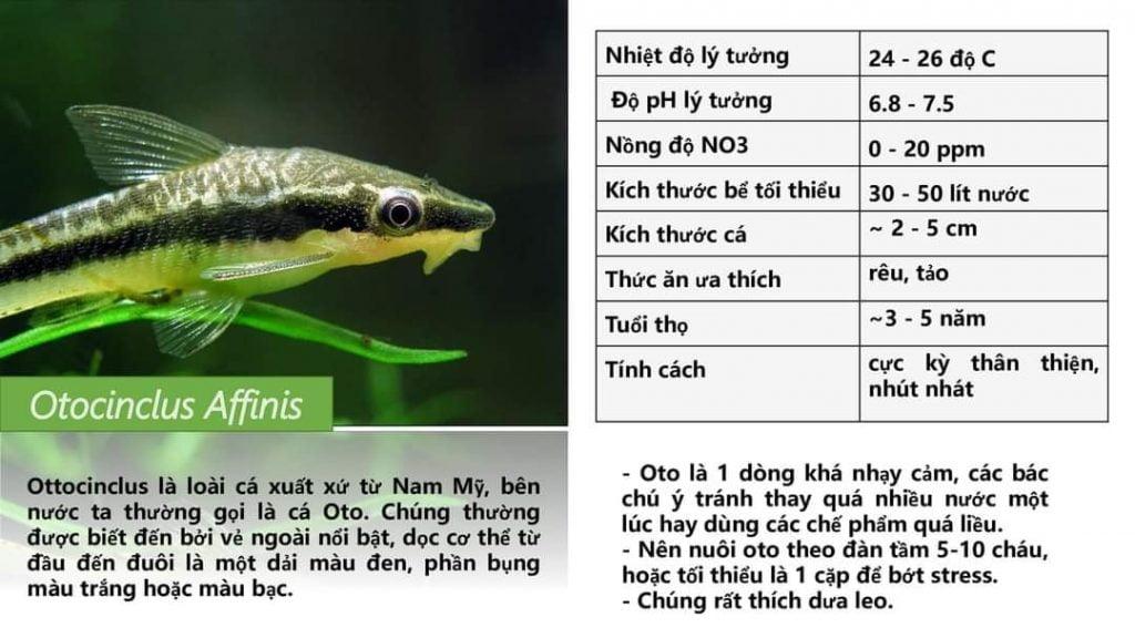 Cá Otto dòng cá dọn bể, ăn rêu hại cực tốt
