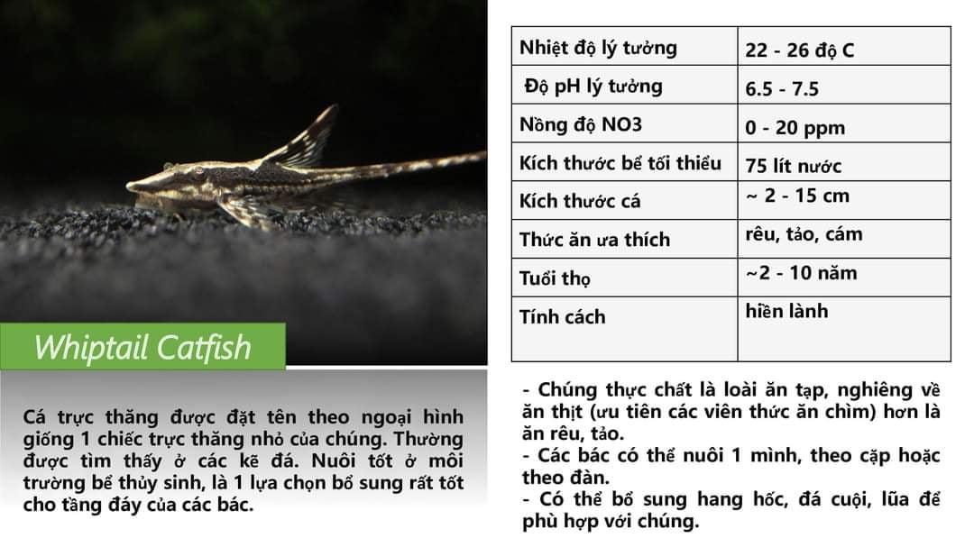 Cá Trực Thăng