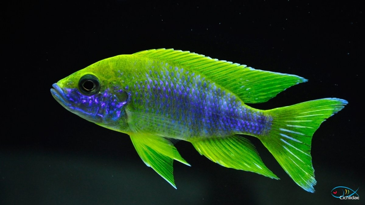 Cá Ali Aulonocara - Peacocks