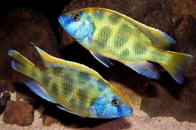 Cá Ali haplochromis