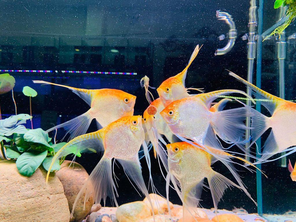 Cá Thần Tiên Kim Sa vây dài